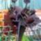 Denevér virág az OBI-ban 5