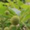 Gomb cserje termése 3