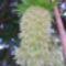 Ananász liliom
