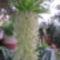 Ananász liliom 1