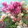 Egyszerre több színű a virág a bougainvilleán..