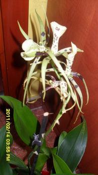 pók orchidea