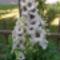 Szarkaláb fehér