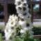 Szarkaláb fehér I