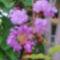 Selyemmirtusz virága 1