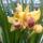 Kedvenc sárga csónakorchideám (cymbidium)
