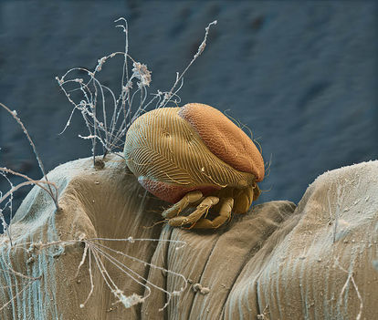 Élősködő a moszkitólárva testén