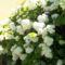 fehér hortensia