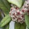 könnyező viaszvirág