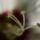 Tom nerion képei - Makróvilág