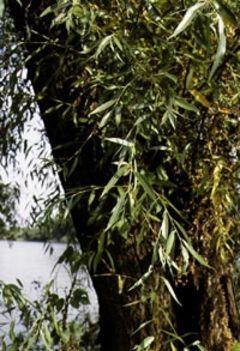 fűzfa 2