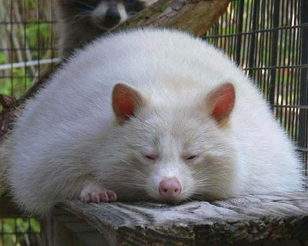 albinó mosómaci