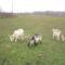 Az én kecskéim