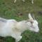 Fanni az első kecském