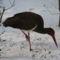 fekete gólya 1