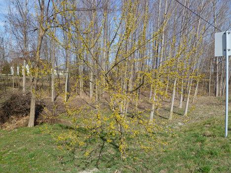 Itt a tavasz, virágzik a somfa, Püski 2012. március 18.-án