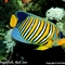 King Angelfish, Red Sea