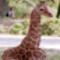 Kis zsiráf