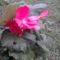 Rózsás begónia