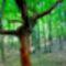 Alsó-Cuha völgy öreg fa