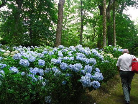 Kék hortenzia mindenütt