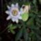 Golgota virág és termése