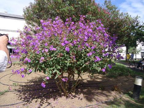 IBOLYAFA (tibouchina urvilleana) (Azori-sziget)