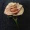 Piros-fehér hibrid rózsa