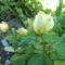 kedvenc rózsáim