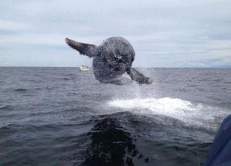 Nem semmi-repül a bálna-542318