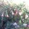 Rózsaszín angyaltrombita (Brugmansia)
