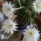 5 virágot hozott a kaktusz, de még kisebb bimbók is vanak rajta...