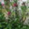 Oleander04