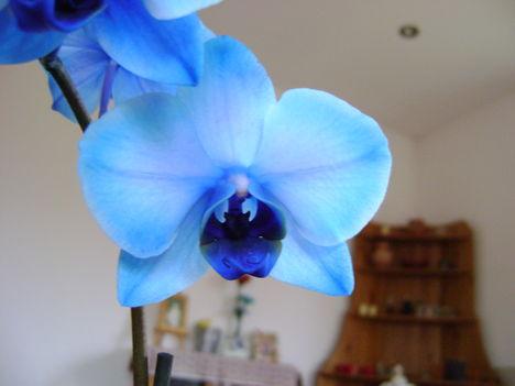 kék szépség 2