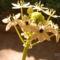 Madártejvirág  1