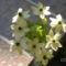 Madártejvirág  2