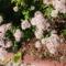 Oregánó virág pompában 1