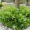 Salamon pecsét és gyöngyvirág