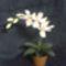 Csillag orchidea