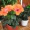 Hibiscus  ( Mályvarózsa )