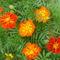 soproni kertem virágai