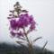 málnavész-virág