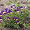 Árvácska - Viola tricolor