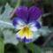 Háromszinű árvácska - Viola tricolor