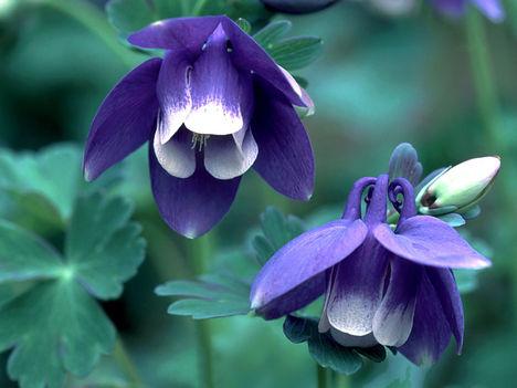Lila harang virágok