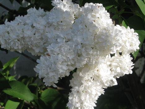 fehér orgona