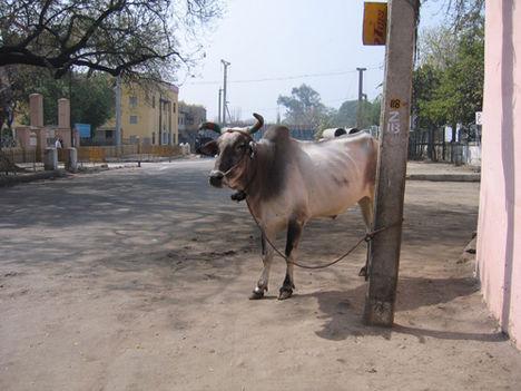 india, delhi 11 A Szent Tehén :)