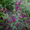 Klárika - Clarkia unguiculata