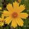 Lándzsalevelű menyecskeszem - Coreopsis lanceolata