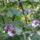 lila maszlag